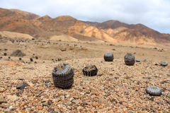 Big cactus family in national park Pan de Azúcar Royalty Free Stock Image