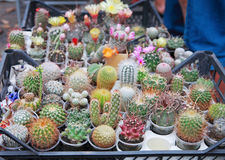 Cactuses. Blossoming cactuses of different kinds in pots and boxes outdoors Royalty Free Stock Photography