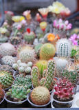 Cactuses. Blossoming cactuses of different kinds in pots outdoors Royalty Free Stock Photography
