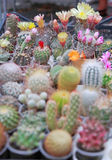 Cactuses. Blossoming cactuses of different kinds in pots outdoors Stock Photo