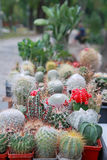 Cactuses. Blossoming cactuses in pots outdoors Royalty Free Stock Images