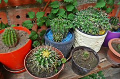 Cactuses/Cacti. Cactuses (Cacti) in the flowerpot with the red bricks in the background Stock Photos