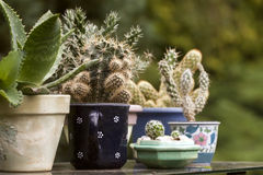 Cactuses Stock Photography