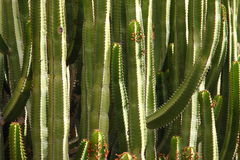 Cactuses on Canary Islands, Spain Royalty Free Stock Photos