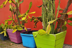 Cactuses in colourful pots Stock Images