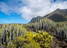 Cactuses in the desert with mountains on the background,Tenerife Royalty Free Stock Images