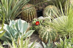Cactus Garden. Different cactus plants - one with red bloom Stock Image