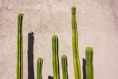 Cactuses of different heights Royalty Free Stock Images