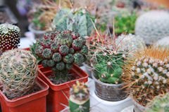 Cactuses Royalty Free Stock Image