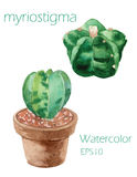Cactuses Euphorbia obesa  watercolor painting on white backgroun Royalty Free Stock Photo
