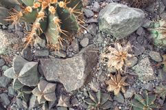 Cactuses in a garden. Houseplants close-up Nature background.  royalty free stock photos