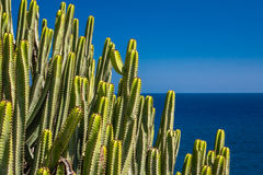Cactuses of Gran Canaria. Large cactuses photographed in Gran Canaria, Canary Islands, Spain stock image