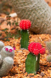 Cactuses on gravel Stock Images