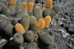 Cactuses. Growing on one of Galapagos islands Royalty Free Stock Photography