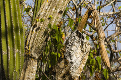 Cactuses, healthy, less healthy and death. At San Cristobal, Galapagos royalty free stock photos