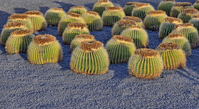 Cactuses in Lanzarote Royalty Free Stock Image
