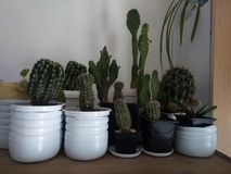 Cactuses, many, in pots. Many cactuses in their pots, big, small, different sizes royalty free stock photos