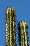 Cactuses - Mexico. Two tops of cactuses in Mexico Royalty Free Stock Photography