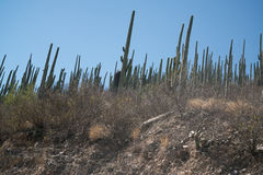 Cactuses in Mexico, Oaxaca. By the mountain road Stock Photos