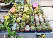 Cactuses plants on the market Royalty Free Stock Photos