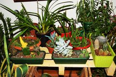 Cactuses plants. Of various sizes and colors in plastic vases Stock Photo