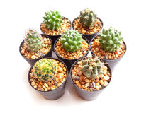 Cactuses in a pot over white background Stock Photo