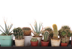 Cactuses in the pots stock photo