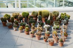Cactuses in pots Stock Photos