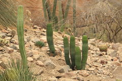 Cactuses in rocky landscape Royalty Free Stock Photos