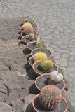 Cactuses in a row Stock Photos