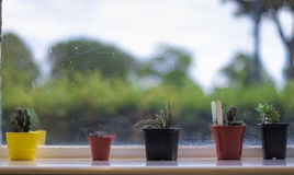 Cactuses. Selection of potted cactuses on a windowsill royalty free stock image