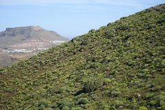 Cactuses on the slope. In Gran Canaria, Spain royalty free stock images