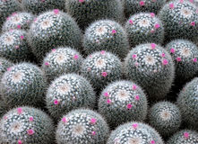Cactuses. With small pink blossom Royalty Free Stock Images