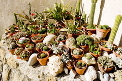 Cactuses' still life Royalty Free Stock Image