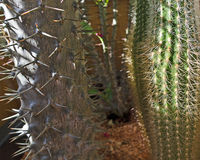 Cactuses with strong and thin prickles Stock Photography