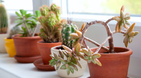 Cactuses and Succulents. Collection of Cactuses and Succulents on Window Parapet stock photo