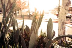 Cactuses on the street. Cactuses on the sunlight street royalty free stock image