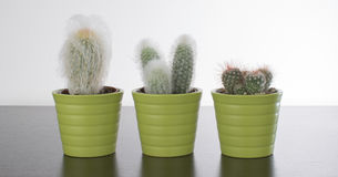 Cactuses. Three cactuses on a table stock images