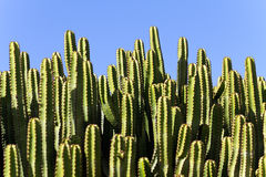 Cactuses in a tropical garden in Lanzarote.  Lanza Stock Image