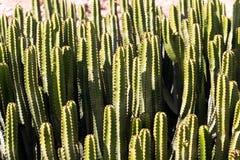Cactuses in a tropical garden in Lanzarote.  Lanza Royalty Free Stock Photos