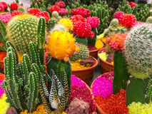 Cactuses. Variety of colorful cactuses royalty free stock image