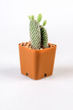 Cactuses on white background Royalty Free Stock Images
