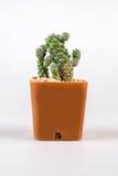 Cactuses on white background Royalty Free Stock Photo