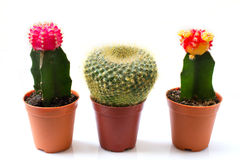 Cactuses on white background Stock Images