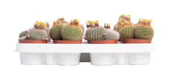 Cactuses with yellow flowers Royalty Free Stock Photography
