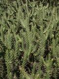 Cactusi Stock Photo
