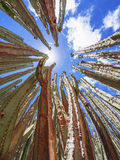 Cactusinstallatie Royalty-vrije Stock Afbeeldingen