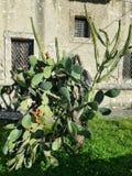 Cactusinstallatie Stock Afbeeldingen