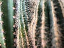 Cactusinstallatie als achtergrond Stock Fotografie