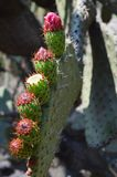Cactusinstallatie in de woestijn van Mexico Royalty-vrije Stock Foto